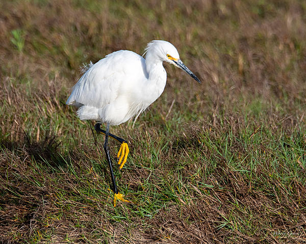 Woody's Wildlife, Nature and Other Stuff 2019-snowyegret-411.jpg