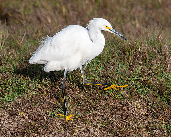 Woody's Wildlife, Nature and Other Stuff 2019-snowyegret-413.jpg