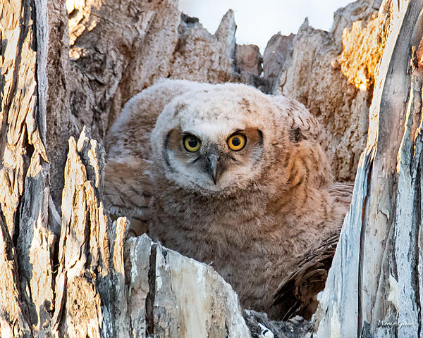 Woody's Wildlife, Nature and Other Stuff 2019-owlnest-427.jpg