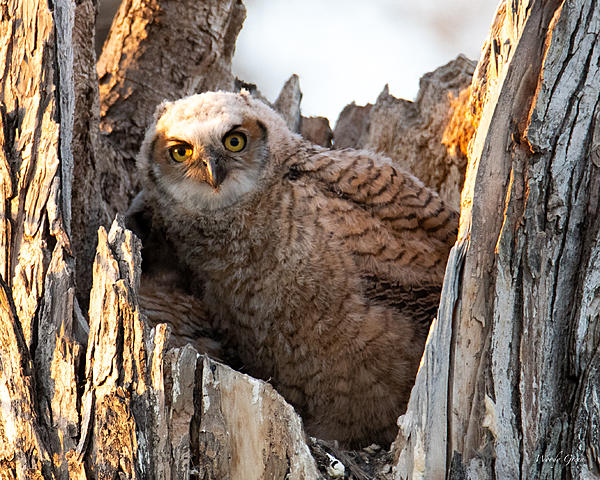 Woody's Wildlife, Nature and Other Stuff 2019-owlnest-428.jpg