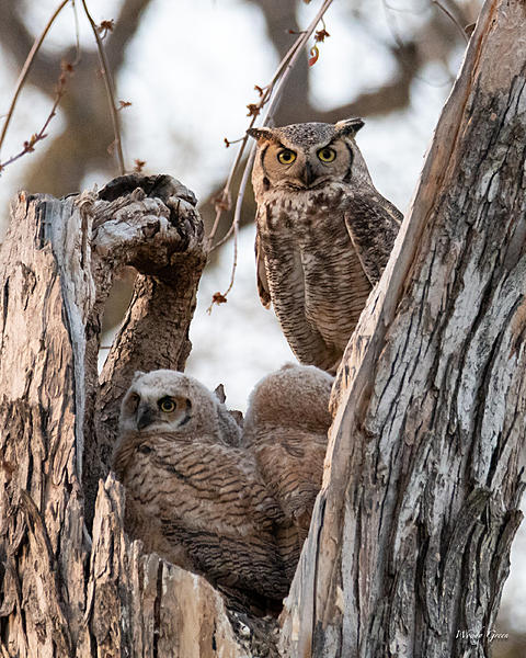 Woody's Wildlife, Nature and Other Stuff 2019-owlnest-429.jpg