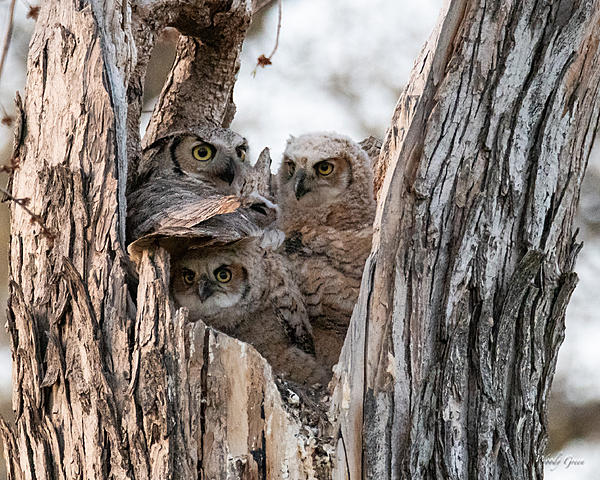 Woody's Wildlife, Nature and Other Stuff 2019-owlnest-430.jpg