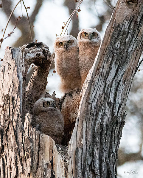 Woody's Wildlife, Nature and Other Stuff 2019-owlnest-431.jpg