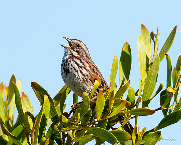 Woody's Wildlife, Nature and Other Stuff 2019-songsparrow-405.jpg