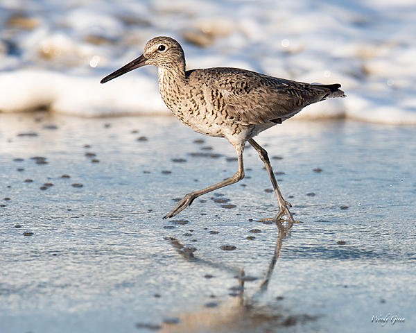 Woody's Wildlife, Nature and Other Stuff 2019-willet-440.jpg