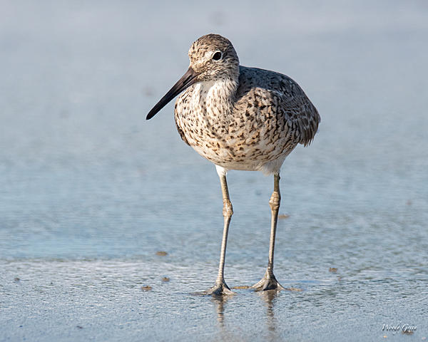 Woody's Wildlife, Nature and Other Stuff 2019-willet-441.jpg