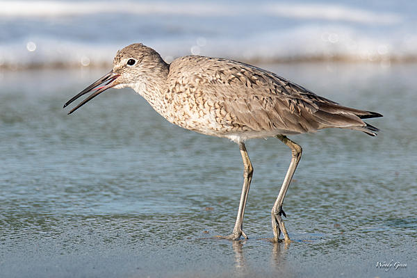 Woody's Wildlife, Nature and Other Stuff 2019-willet-442.jpg