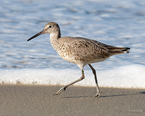 Woody's Wildlife, Nature and Other Stuff 2019-willet-443.jpg
