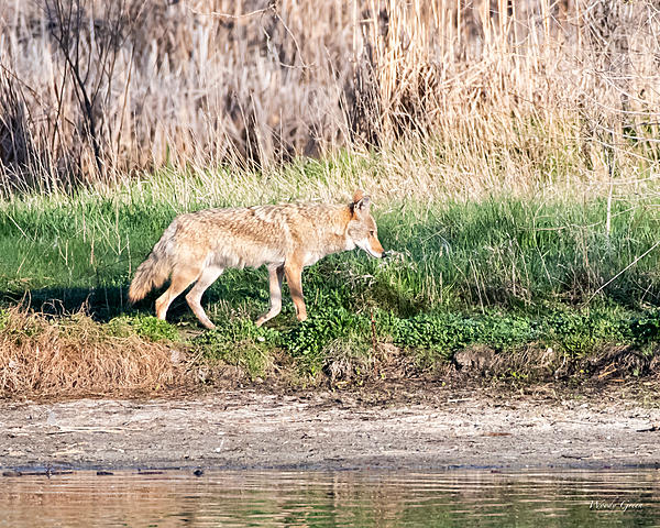 Woody's Wildlife, Nature and Other Stuff 2019-coyote-400.jpg
