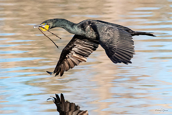 Woody's Wildlife, Nature and Other Stuff 2019-cormorantflight-411.jpg