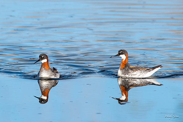 Woody's Wildlife, Nature and Other Stuff 2019-redneckedphalarope-400.jpg