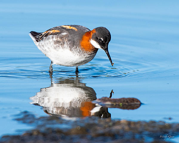 Woody's Wildlife, Nature and Other Stuff 2019-redneckedphalarope-403.jpg