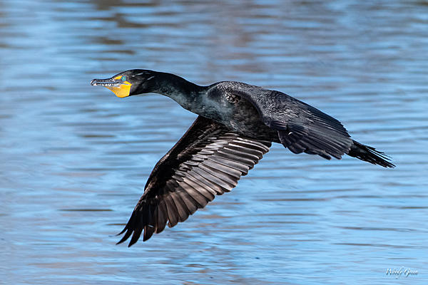 Woody's Wildlife, Nature and Other Stuff 2019-cormorantflight-451.jpg