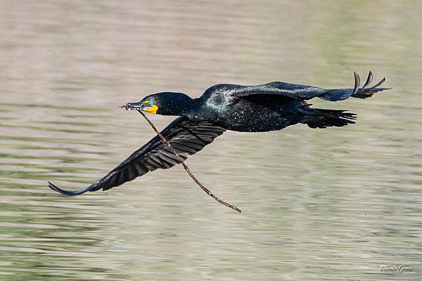 Woody's Wildlife, Nature and Other Stuff 2019-cormorantflight-455.jpg