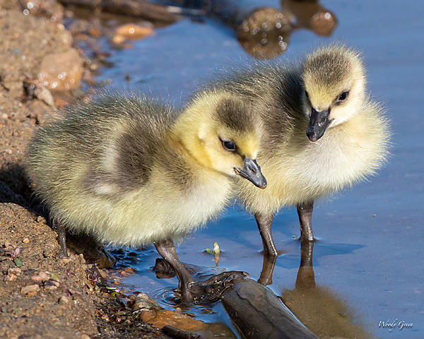 Woody's Wildlife, Nature and Other Stuff 2019-goslings-460.jpg