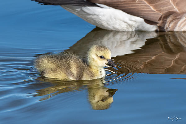 Woody's Wildlife, Nature and Other Stuff 2019-goslings-462.jpg