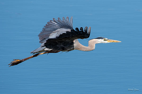 Woody's Wildlife, Nature and Other Stuff 2019-gbhflight-431.jpg