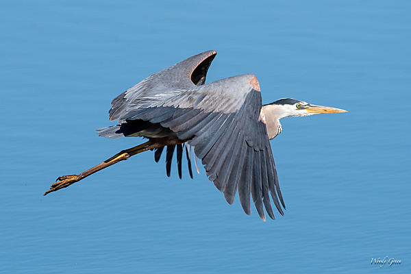 Woody's Wildlife, Nature and Other Stuff 2019-gbhflight-432.jpg