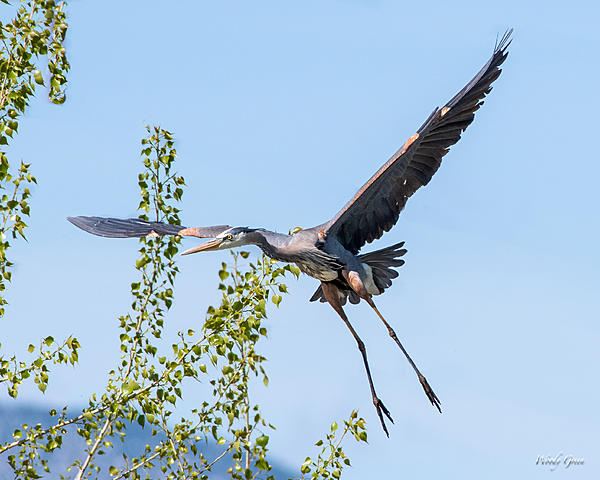 Woody's Wildlife, Nature and Other Stuff 2019-gbh-450.jpg