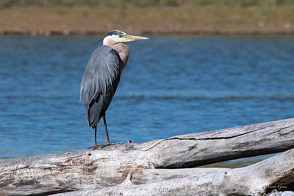 Woody's Wildlife, Nature and Other Stuff 2019-gbh-454.jpg
