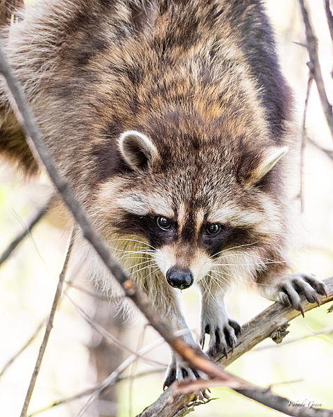 Woody's Wildlife, Nature and Other Stuff 2019-raccoon-401.jpg