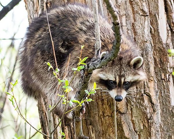 Woody's Wildlife, Nature and Other Stuff 2019-raccoon-402.jpg