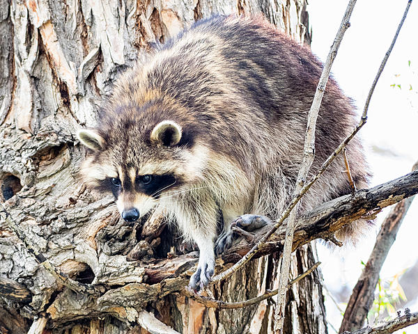 Woody's Wildlife, Nature and Other Stuff 2019-raccoon-403.jpg