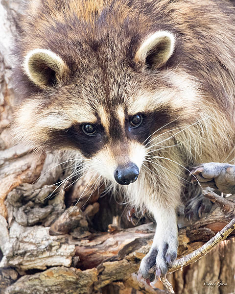 Woody's Wildlife, Nature and Other Stuff 2019-raccoon-404.jpg