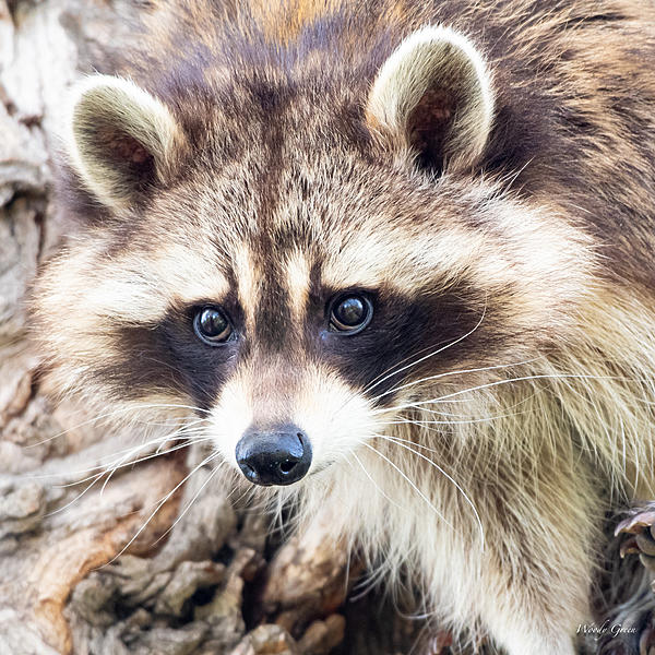 Woody's Wildlife, Nature and Other Stuff 2019-raccoon-405.jpg