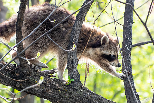 Woody's Wildlife, Nature and Other Stuff 2019-raccoon-406.jpg