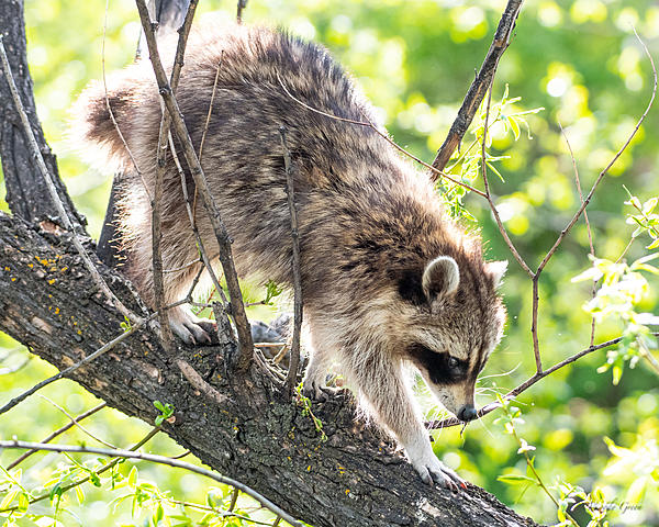 Woody's Wildlife, Nature and Other Stuff 2019-raccoon-407.jpg