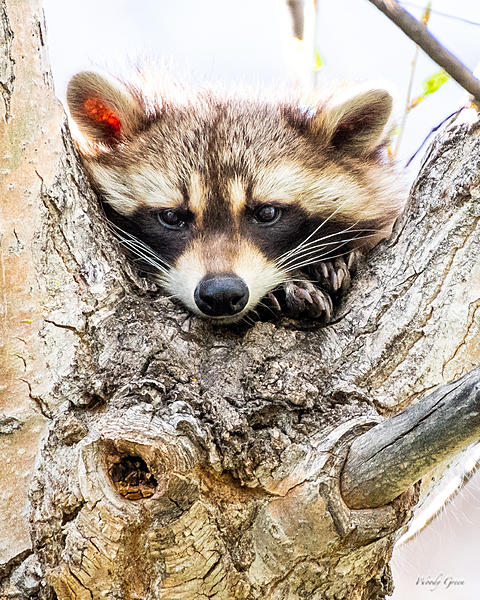 Woody's Wildlife, Nature and Other Stuff 2019-raccoon-408.jpg
