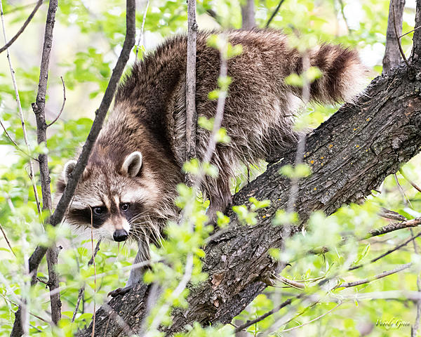 Woody's Wildlife, Nature and Other Stuff 2019-raccoon-409.jpg