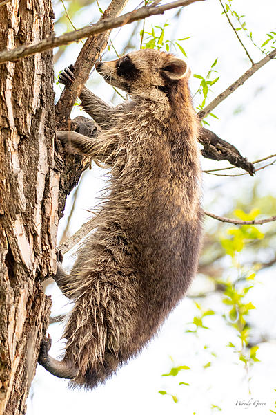 Woody's Wildlife, Nature and Other Stuff 2019-raccoon-410.jpg