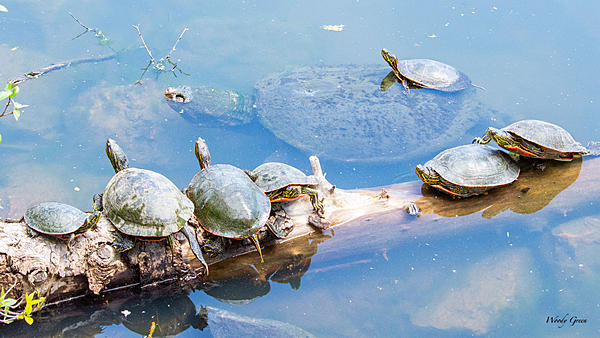 Woody's Wildlife, Nature and Other Stuff 2019-snappingpaintedturtles-400.jpg