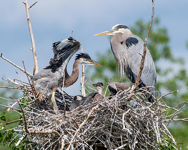 Woody's Wildlife, Nature and Other Stuff 2019-gbhnest-430.jpg