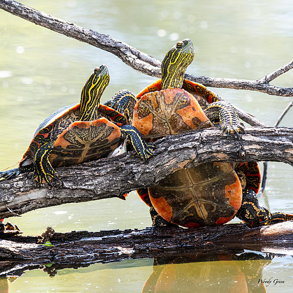 Woody's Wildlife, Nature and Other Stuff 2019-turtles-415.jpg