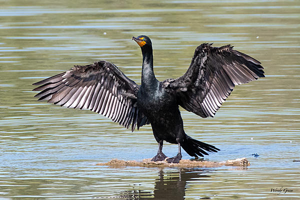 Woody's Wildlife, Nature and Other Stuff 2019-cormorant-450.jpg