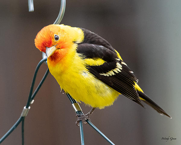 Woody's Wildlife, Nature and Other Stuff 2019-westerntanager-404.jpg