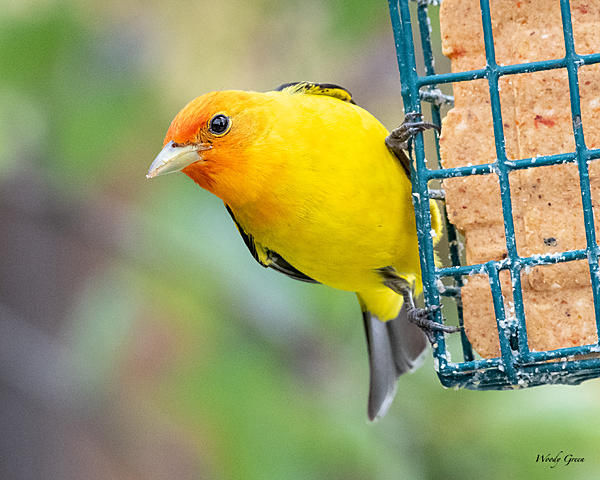 Woody's Wildlife, Nature and Other Stuff 2019-westerntanager-405.jpg