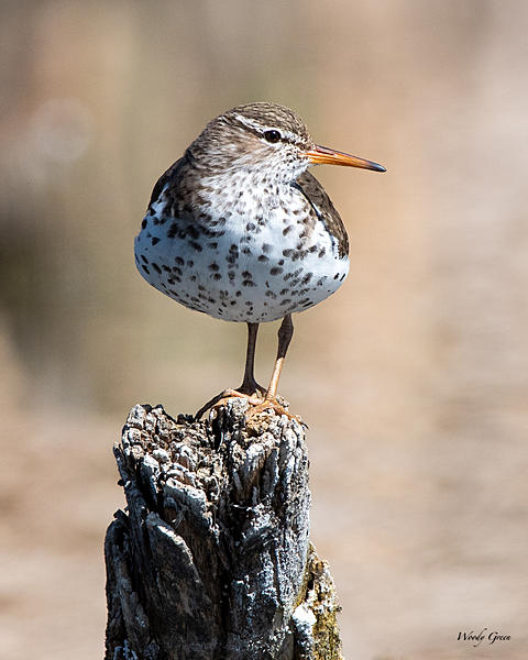 Woody's Wildlife, Nature and Other Stuff 2019-spottedsandpiper-405.jpg
