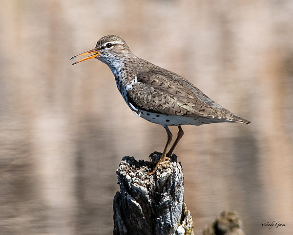 Woody's Wildlife, Nature and Other Stuff 2019-spottedsandpiper-406.jpg
