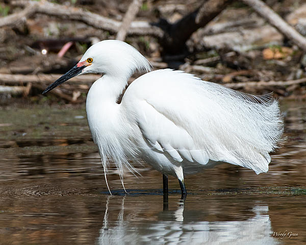 Woody's Wildlife, Nature and Other Stuff 2019-snowyegret-444.jpg