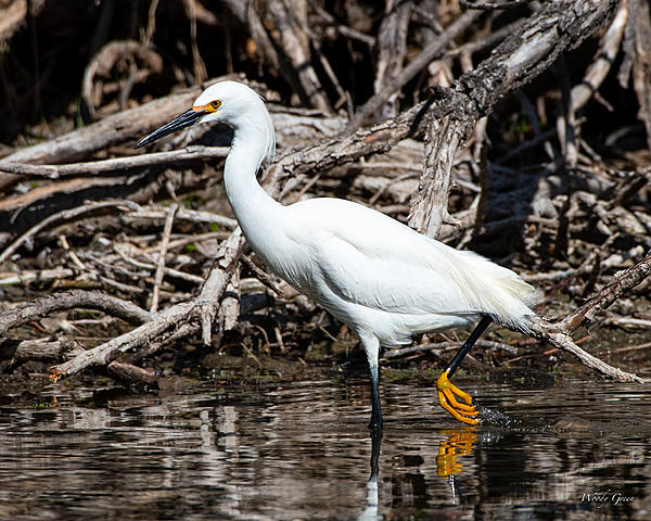 Woody's Wildlife, Nature and Other Stuff 2019-snowyegret-445.jpg