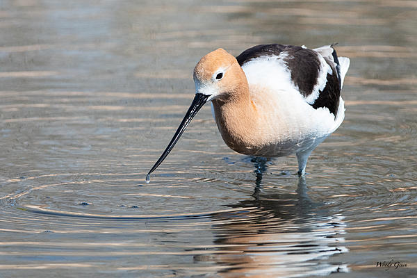 Woody's Wildlife, Nature and Other Stuff 2019-avocet-441.jpg