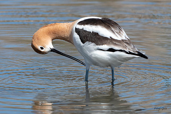 Woody's Wildlife, Nature and Other Stuff 2019-avocet-442.jpg