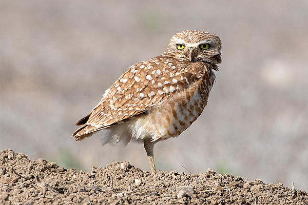 Woody's Wildlife, Nature and Other Stuff 2019-burrowingowl-418.jpg