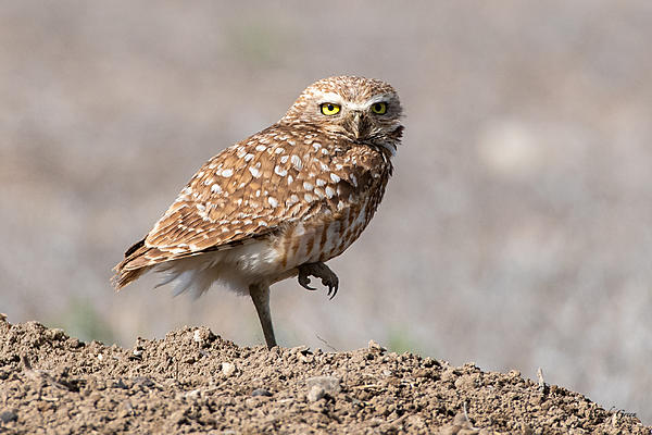 Woody's Wildlife, Nature and Other Stuff 2019-burrowingowl-419.jpg