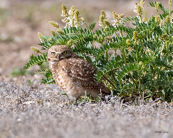 Woody's Wildlife, Nature and Other Stuff 2019-burrowingowl-420.jpg
