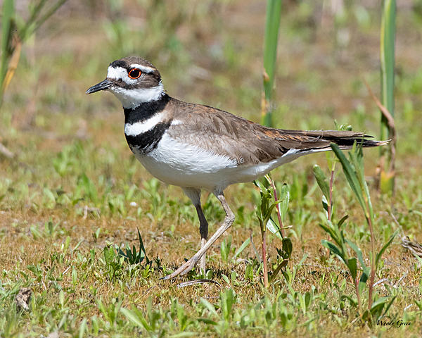 Woody's Wildlife, Nature and Other Stuff 2019-killdeer-405.jpg
